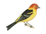 Western Tanager (Piranga Ludoviciana), Birds Posters par  Encyclopaedia Britannica