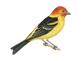Western Tanager (Piranga Ludoviciana), Birds Stretched Canvas Print by  Encyclopaedia Britannica