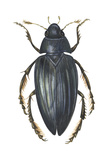 Water Scavenger Beetle (Hydrophilus Triangularis), Insects Posters