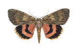Underwing Moth (Catocala Ultronia), Ultronia Underwing, Insects Print by  Encyclopaedia Britannica