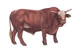 Braford Bull, Beef Cattle, Mammals Prints