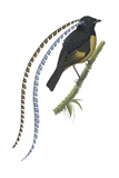 King of Saxony's Bird-Of-Paradise (Pteridophora Alberti), Birds Photographie par  Encyclopaedia Britannica