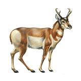 Pronghorn (Antilocapra Americana), Mammals Billeder af Encyclopaedia Britannica