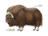 Musk-Ox (Obivos Moschatus), Mammals Stretched Canvas Print by  Encyclopaedia Britannica