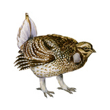 Sharp-Tailed Grouse (Tympanuchus Phasianellus), Birds Prints by  Encyclopaedia Britannica