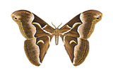 Saturniid Moth (Cynthia Moth) (Samia Walkeri), Insects Posters by  Encyclopaedia Britannica