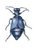 American Oil Beetle (Meloe Americanus), Insects Photo