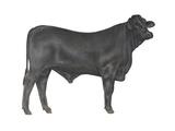 Brangus Bull, Beef Cattle, Mammals Prints