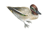 Green-Winged Teal (Anas Crecca), Duck, Birds Posters by  Encyclopaedia Britannica