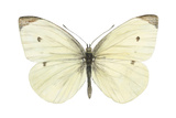 Cabbage Butterfly (Pieris Rapae), Insects Poster by  Encyclopaedia Britannica