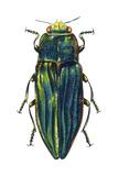 Metallic Wood-Boring Beetle (Buprestidae), Insects Prints
