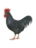 Rhode Island Red (Gallus Gallus Domesticus), Rooster, Poultry, Birds Prints by  Encyclopaedia Britannica