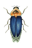 Male Firefly (Lampyridae), Insects Posters by  Encyclopaedia Britannica