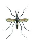 Aedes Mosquito (Aedes Aegypti), Yellow Fever Mosquito, Insects Posters by  Encyclopaedia Britannica