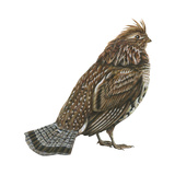 Ruffed Grouse (Bonasa Umbellus), Birds Print by  Encyclopaedia Britannica