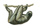 3-Toed Sloth (Bradypus Tridactylus), Mammals Stretched Canvas Print by  Encyclopaedia Britannica