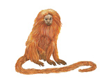Golden Lion Tamarin or Golden Lion Marmoset (Leontideus Rosalia), Mammals Posters by  Encyclopaedia Britannica