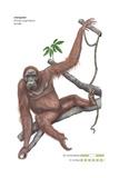 Female Orangutan (Pongo Pygmaeus), Ape, Mammals Prints by  Encyclopaedia Britannica