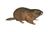 Woodchuck (Marmota Monax), Mammals Prints by  Encyclopaedia Britannica