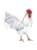 Leghorn (Gallus Gallus Domesticus), Rooster, Poultry, Birds Photo by  Encyclopaedia Britannica