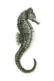 Sea Horse (Hippocampus Hudsonius), Fishes Prints
