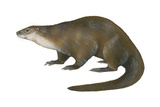 North American River Otter (Lutra Canadensis), Weasel, Mammals Prints