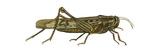 American Grasshopper (Schistocerca Americana), Insects Prints
