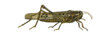 American Grasshopper (Schistocerca Americana), Insects Prints by  Encyclopaedia Britannica