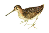 Common Snipe (Gallinago Gallinago), Birds Photo by  Encyclopaedia Britannica