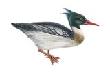 Red-Breasted Merganser (Mergus Serrator), Duck, Birds Posters by  Encyclopaedia Britannica