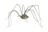 Harvestman (Leiobunum Flavum), Spider, Arachnids Poster by  Encyclopaedia Britannica