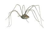 Harvestman (Leiobunum Flavum), Spider, Arachnids Poster