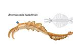 Extinct Soft-Bodied Cambrian Predator (Anomalocaris Canadensis). Arthropods, Invertebrates Print by  Encyclopaedia Britannica
