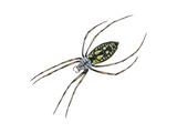 Black-And-Yellow Argiope (Argiope Aurantia), Spider, Arachnids Plakat af Encyclopaedia Britannica