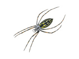 Black-And-Yellow Argiope (Argiope Aurantia), Spider, Arachnids Print