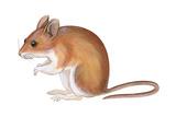 Golden Mouse (Peromyscus Nuttalli), Mammals Pósters por  Encyclopaedia Britannica