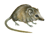 Flat-Skulled Marsupial Mouse (Planigale), Marsupial, Mammals Prints