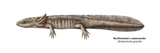 Urodele Larva, Northwestern Salamander (Ambystoma Gracile), Amphibians Prints by  Encyclopaedia Britannica