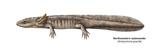 Urodele Larva, Northwestern Salamander (Ambystoma Gracile), Amphibians Prints