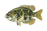 Rock Bass (Ambloplites Rupenstris), Fishes Poster by  Encyclopaedia Britannica