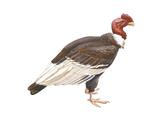 Andean Condor (Vultus Gryphus), Birds Posters par  Encyclopaedia Britannica