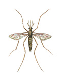 Anopheles Mosquito (Anopheles Quadrimaculatus), Insects Posters by  Encyclopaedia Britannica