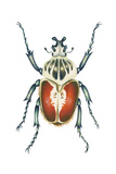 African Goliath Beetle (Goliathus Giganteus), Insects Prints