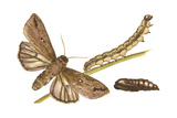 Armyworm Moth, Caterpillar, and Pupae (Mythimna Unipuncta), Insects Print by  Encyclopaedia Britannica