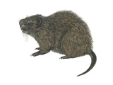 Great Cane Rat (Thryonomys Swinderianus), Mammals Prints by  Encyclopaedia Britannica