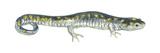 Spotted Salamander (Ambystoma Maculatum), Amphibians Posters