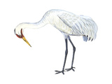 Whooping Crane (Grus Americana), Birds Posters by  Encyclopaedia Britannica