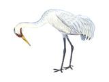 Whooping Crane (Grus Americana), Birds Posters