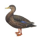 Black Duck (Anas Rubripes), Birds Stretched Canvas Print by  Encyclopaedia Britannica