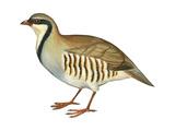Chukar, Partridge (Alectoris Chukar), Birds Photographie par  Encyclopaedia Britannica